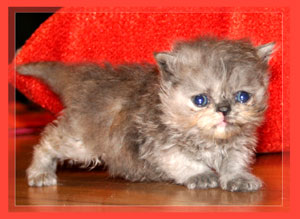 Persian Tortie - click for more Photos & VIDEO