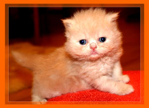 Red Persian - click for more Photos & VIDEO