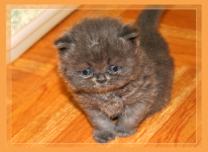 Blue Persian - click for more Photos & VIDEO