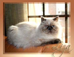 Persian Kitten - Pure Breed Persian & Himalayan Kittens with Pedigree